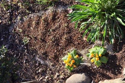 芽が出たチューリップとガザニアとプリムラジュリアン
