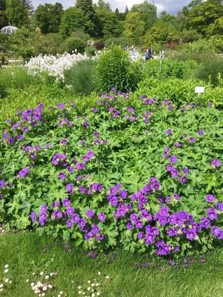 ミュンヘン植物園 紫色の小花群集