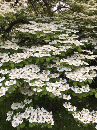 ドイツの植物園 Viburnum plicatum(ヤブデマリ)