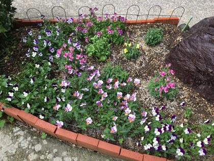ビオラとキンギョソウの花壇2018